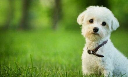 ¿Puede un animal doméstico u otro animal contagiarme la COVID-19?